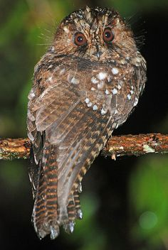 Mountain Owlet-Nightjar, Kumul Lodge, PNG by Terathopius, via Flickr