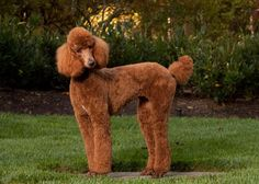 Here is a beautiful Red Poodle. Don't be fooled by her good looks. Poodles are far more than just pretty faced. They often have an impressive mind behind that coiffed coat, not to mention a great sense of humor and endless desire to keep her family entertained.