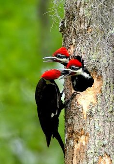 Wow, baby pileated woodpeckers...