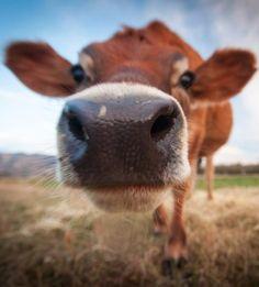Happy Cow at Pasture 42, Guinda, California
