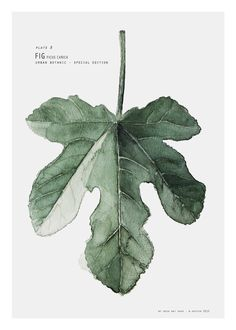MY DEER - BOTANIC URBAN PLATE B - FIG FICUS CARICA STEM WATERCOLOUR PR | SIMPLE FORM.