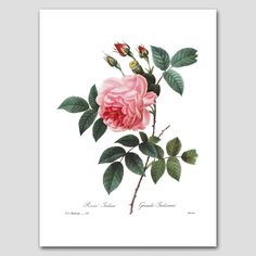 "Rose Botanical (Pink Room Decor, Redoute Flower Wall Art) Romantic French Artwork - Unframed. Rose Art, Botanical Wall Print, Pink Flower Home Decor, Romantic Artwork -- Unframed Print From a series of 35 French Redoute nature illustrations (Sold individually or in specially priced sets) One ""Grande Indienne Rose"" fine art print of an 1820s painting by botanist & artist Pierre Redoute Deep pink blossoms; white background Frames not included Premium matte paper with archival ink Sizes..."