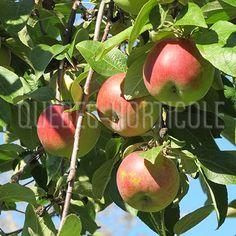 image de Malus Cortland Photos, Fruit, Image, Gardens, Index Cards, Plants, Pictures, Photographs, The Fruit