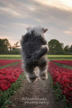 Happiness is found on the way, not at the eind of - old English sheepdog Jane