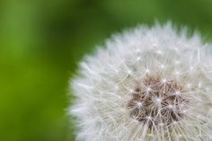 Dandelion, Flower, Spiritual, Pebble