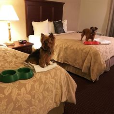 Looks like Bentley and Meatball had a great trip out west to the Best Western Plus Humboldt House Inn! We do our best to make sure that EVERY guest is comfortable. ‪ ‪ (PC: Bentley and Meatball Fernandez) Humboldt House, Pet Travel, Best Western, Meatball, Trip Planning, Your Pet, How To Memorize Things, Furniture, Home Decor