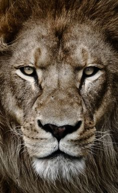 Portrait of a king by arzan bulsara lion tattoo design, lion wallpaper, beautiful cats Lion Images, Lion Pictures, Lion Wallpaper, Animal Wallpaper, Beautiful Cats, Animals Beautiful, Animals And Pets, Cute Animals, Wild Animals