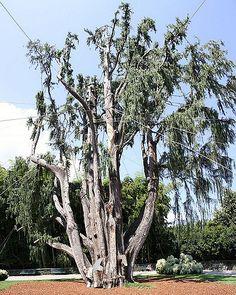 Fino al giugno 2006 questo CIPRESSO era il più bell'esemplare in europa. Nel Giugno 2006 una tromba d'aria l'ha abbattuto e gravemente danneggiato. L'albero e' stato ripiantato e sottoposto a cure intensive.