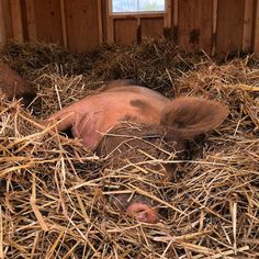 """The Gentle Barn Tennessee (@gentlebarntn) on Instagram: """"Another rainy day in Knoxville means more time for napping, right Dream? Wake me up when the sun…"""""""