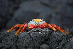 Sally Lightfoot Crab • James Island, Galapagos Islands, Ecuador