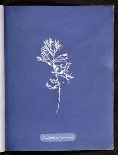 Anna Atkins - Photographs of British algae: cyanotype impressions : Cystoseira ericoides / http://www.nypl.org