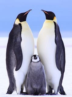 ~~ /. ~ Emperor Penguin Family on the Eckstroem Ice-shelf by Anne Froehlich~~