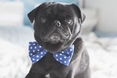 DIY Bow Tie | Quick and Easy Tutorial http://www.thepugdiary.com/diy-bow-tie-quick-and-easy-tutorial/