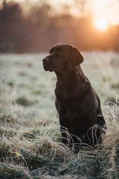 Summer in der Morgensonne #pfotentick #labrador #foxred #labradorretriever…