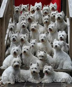 """""""Diane's Westies"""" Group photo 28 westies!! This is our Westie Family & My (Paula's) 3 Westies are in this pic! . ❤️❤️❤️."""