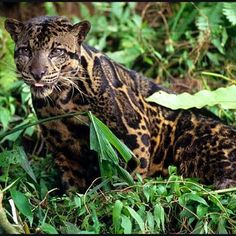 The clouded leopard is found from the Himalayan foothills through mainland Southeast Asia into China, and has been classified as vulnerable in 2008 by IUCN. Its total population size is suspected to be fewer than 10,000 mature individuals, with a decreasing population trend and no single population numbering more than 1,000 adults. (Wild For Wildlife and Nature)