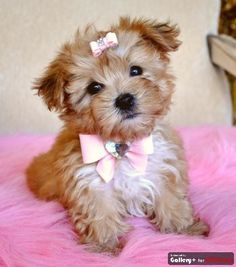 Morkie. Maltese mixed with a Yorkie. 4 to 15 lbs and fragile. Therefore, they aren't good in a household with small children. Smart but stubborn. Hair that needs brushed daily. Very energetic but don't require a lot of exercise.