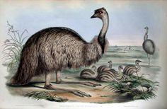 Australian Emu. John Gould.