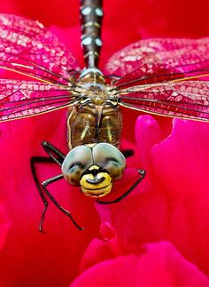 Dragonfly - looks like he's smiling! (nice photoshop work but still very cool)