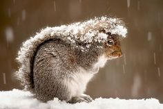 Just a squirrel using its tail to shield itself from the snow