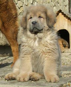 How cute is this tibetan mastiff pup :)