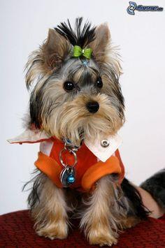 dressed Yorkshire Terrier #yorkshireterrier