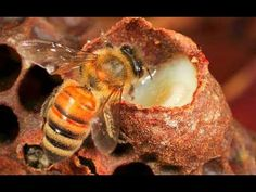 Royal jelly is created by a honey bee. It is used by the bees to feed the larvae when they are ready to select a new queen. In bees, this substance helps Royal Jelly, Healthy Eyes, Bee Friendly, Bee Keeping, Fertility, Superfoods, Herbalism, Healthy Lifestyle, Insects