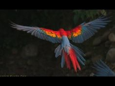 A GREAT Study of bird flight. MACAWS in SlowMotion! Rainforest Research! Smarter Every Day 60 (+playlist)
