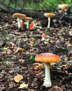 Muchomor fotogeniczny #mashroom #grzybobranie #las #wood #forest #shrooms #galanty #instashroom #poland #polishgrzyba @tokarzewska