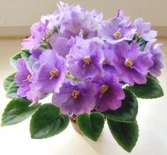 African Violet Plant Apollo Dream (Semiminiature) Large size flowers! Beautiful!