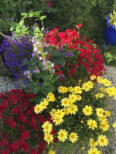 Some more summer flowers -- in my garden Margeritten 8-8-15 - by Inger Johanne :)