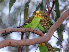 Budgerigar (Melopsittacus undulatus) These look a lot happier than those with little mirrors toys and a tiny cage. Beautiful Birds, Animals Beautiful, Cute Animals, Australian Parrots, Unusual Animals, Budgies, Parakeet, Animals Of The World, Pet Birds