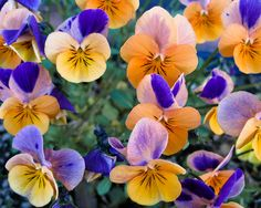 pansies....love them, but not good at growing them.