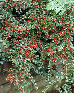 Cotoneaster horizontalis - Cotoneaster. Zone 3. Deer and drought resistant. Good for cuckoo, mining, sweat bees and more. A significant bumblebee shrub.