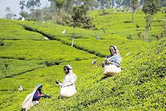 Want to see tea plantations all over the world? Check this! – TEADAW #Teadaw #Teagarden