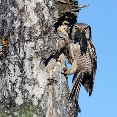 cc Northern Hawk-Owl by Jari Peltomäki Photography Tours, Wildlife Photography, Crazy Owl, Old Norse, Beautiful Owl, Snowy Owl, Baby Owls, Birds Of Prey, Bird Watching