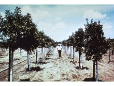 Walt Disney walks through the 160 acre orange grove that was to become Disneyland in Anaheim