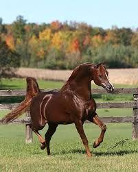 padron arabian stallion - Google Search
