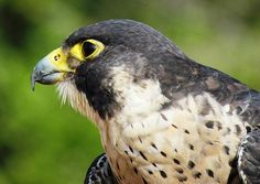 Peregrine Falcon - photo by Cynthia Guinn