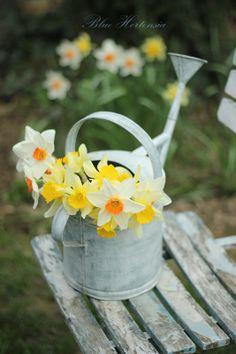 Blue Hortensia: Proljeće stanuje ovdje..