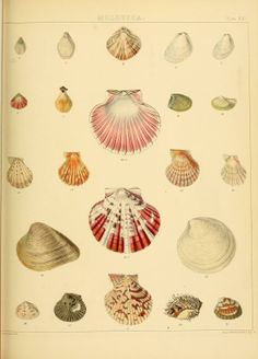 The Zoology of the voyage of H.M.S. Samarang, under the command of Captain Sir Edward Belcher, C.B., F.R.A.S., F.G.S., during the years 1843...