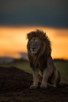 True king of the jungle . Nature Animals, Animals And Pets, Cute Animals, Wildlife Nature, Lion Pictures, Animal Pictures, Beautiful Cats, Animals Beautiful, Lion Photography
