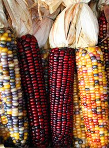 maize - beautiful red tones