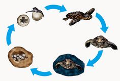 krabbelwiese: Meeresschildkröte