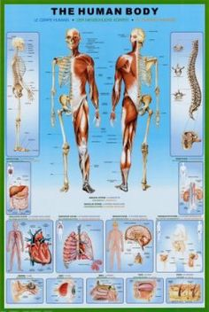 Are you teaching high school anatomy? Need to study for human body tests? Or need some human anatomy prints for your classroom? Here is a selection...