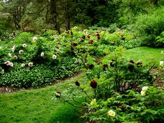 The Winterthur peony gardens contain both tree peonies and herbaceous peonies. Description from carolynsshadegardens.com. I searched for this on bing.com/images