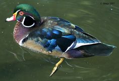 Reflecting on being a Wood Duck