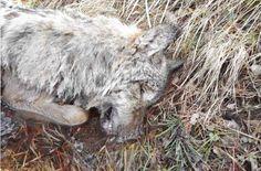 Podczas obchodu lasu w Nadleśnictwie Nowa Sól (RDLP w Zielonej Górze) miejscowy leśniczy natknął się na wilka zaplątanego we wnyki. Niestety, na pomoc było już za późno.