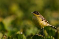 Bergeronnette printanière - Motacilla flava - Western Yellow Wagtail  Ziway Lake, Rift Valley, Ethiopia (A Paradise for bird photography)