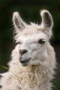 Handsome white llama |  Tambako The Jaguar